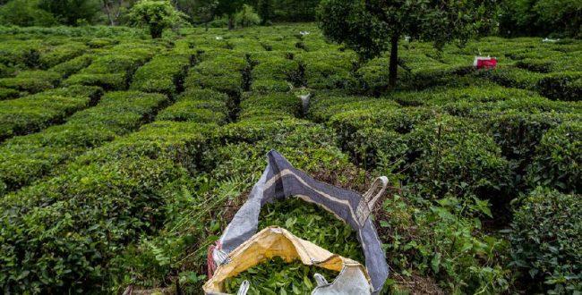 ۱۰ درصدی تولید برگ سبز چای در راه است