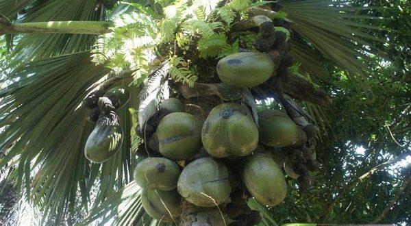 بزرگترین میوه ی دنیا
