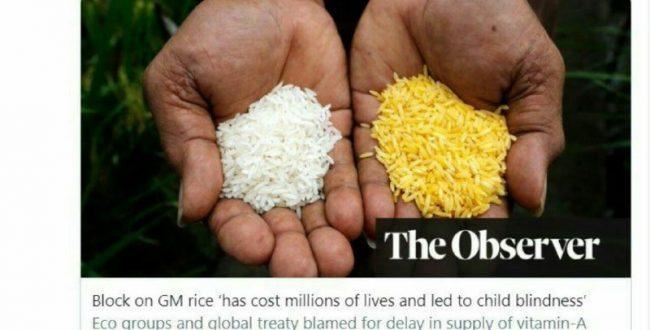 دعوا بر سر برنج طلایی