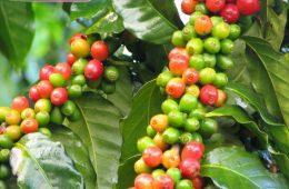 ۵ سال از عمر درخت قهوه باید
