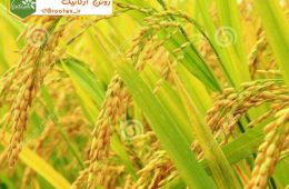 خواص برنج سبوس دار  جلو