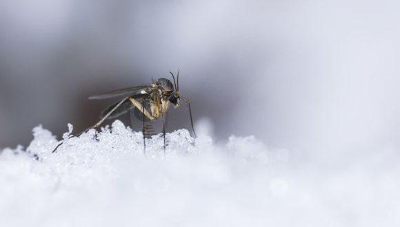پشه ها در زمستان کجا غیب شان م