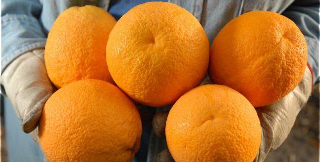 آنچه به عنوان پرتقال شمال در بازار عرضه میشود