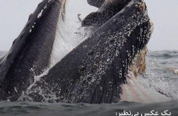 اولین عکس از نهنگ گوژپشت در حال بلعیدن یک شیر دریایی