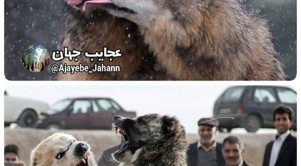   بررسیهای انجام شده نشون داده با اینکه گرگها بیشتر با هم درگیر میشن و دعوا میکنن